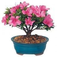 Azalea Outdoor Bonsai Tree